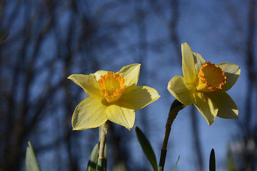 Daffodils, Flowers, Yellow, Spring, Plants, Blossoms
