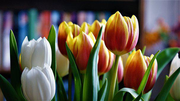 Tulips, Mixed, Flowers, White, Flamed, Nice, Spring