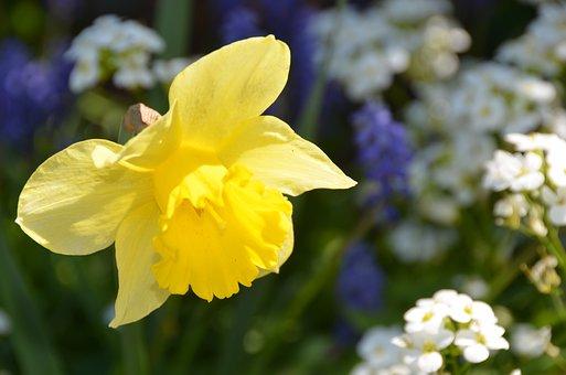 Daffodil, Yellow, Spring, Easter, Daffodils, Flower