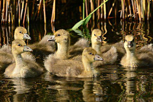 Goose, Water Bird, Gosling, Chick, Young, Swimming