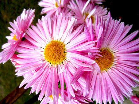 Aster, Flowers, Bring, Smiles, Aster Amellus