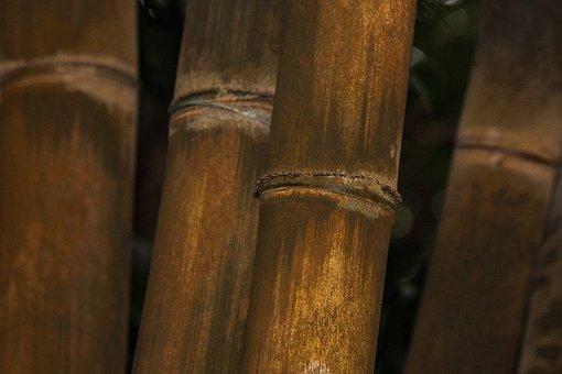 Dendrocalamus Giganteus, Bamboo, Giant Bamboo
