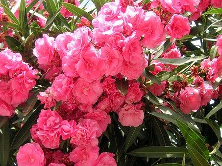 Oleanders, Pink, Flowers, Blossoms, Blooming, Blooms