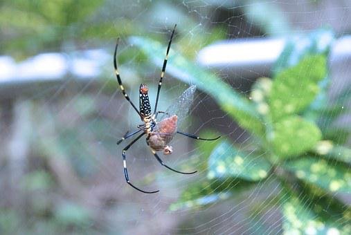 Spider, Insect, Nature, Animal, Wildlife, Bug, Black