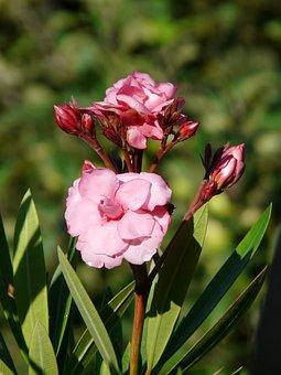 Oleander, Bush, Nerium Oleander, Laurel Rose