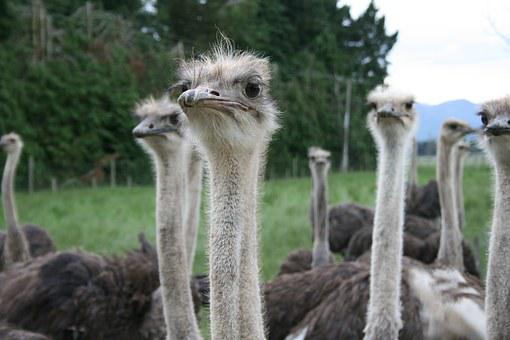 Ostrich, Eye, Contact, Camera, Wildlife, Nature, Farm