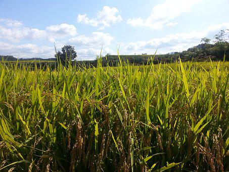 Ch, Nature, Summer, Republic Of Korea, Rice Paddies