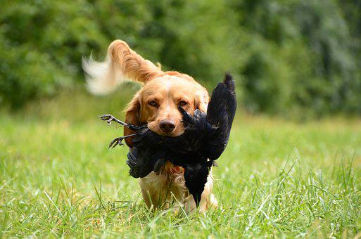 Retrieve, Dog, German Quail, Dog Training, Crow