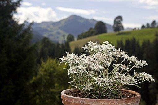 Edlweiss, Alpine Flowers, Flowers, Alpine Edelweiß
