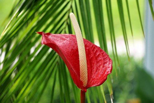 Anthurium, Flower, Exotic, Red, Arum, Pretty, Striking