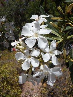 Oleander, White Flower, Blossom, Bloom, Bloom, Flower
