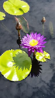 Lily Pads, Flower, Pond, Water Lily, Botanical, Gardens