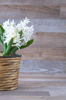Hyacinth, Flower, Flowers, White, Fragrant Flower