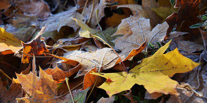 Leaves, Frost, Nature, Cold, Autumn, Frozen, Ripe