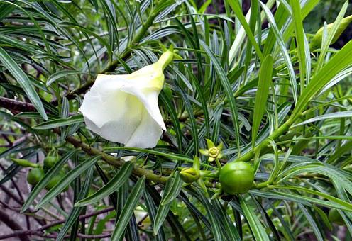 Mexican Oleander, Thevetia Peruviana, Flower, Fruit