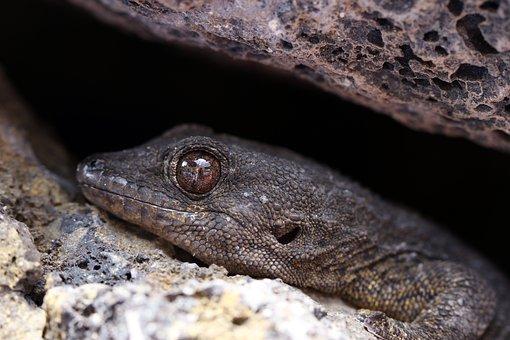 The Lizard, Eye, Animal Portrait, Gad, Skin