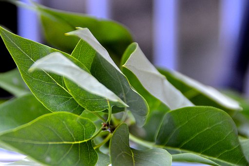 Ivy, Leaves, Green, Plant, Nature, Close, Green Leaf
