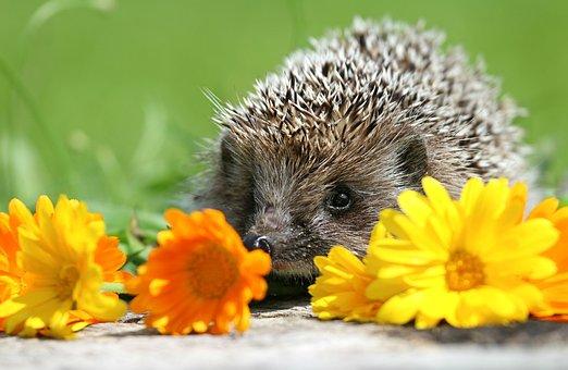 Hedgehog, Flowers, Scratchy, Curiosity, Little, Cute