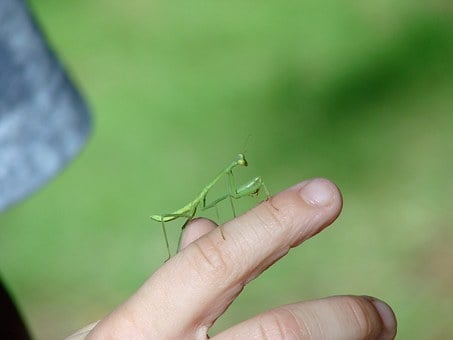 Mantis, Insect, Green, Finger, Hand, Curiosity, Baby