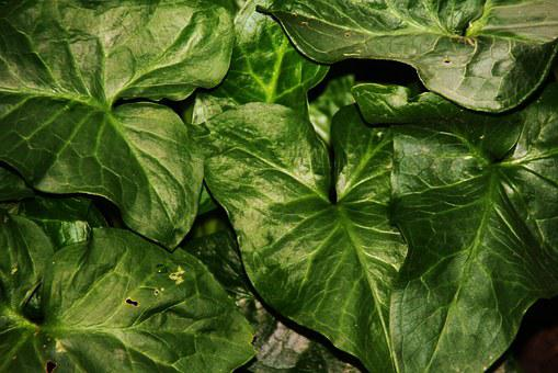 Arum, Plant, Leaf, Nature, Field, Green, Leaves, Garden