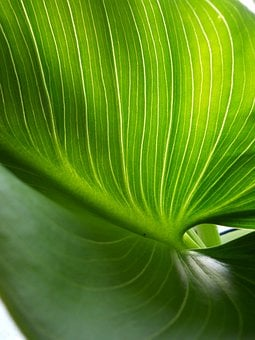 Arum Lily Leaf, Green, Nature, Lily, Floral, Plant