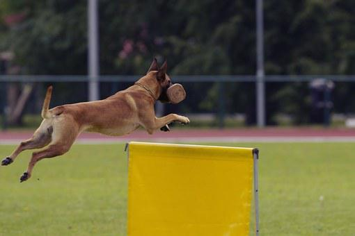 Dog, Malinois, Belgian Shepherd, Competition