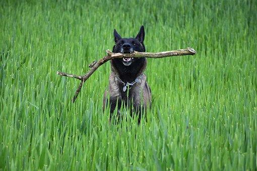 Malinois, Bring, Nature, Dog, Run, Obey, Pet, Landscape