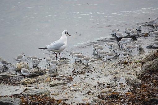 Birds, Seabirds, Seagull, Ornithology, Nature, Animal