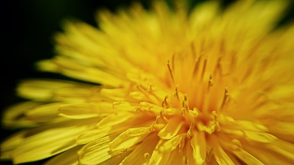 Dandelion, Leipzig, Macro, Close, Nature, Plant