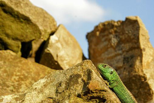 Nature, The Lizard, Animal, The Creation Of