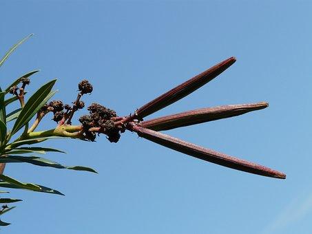 Oleander, Faded, Fruit, Bush, Nerium Oleander