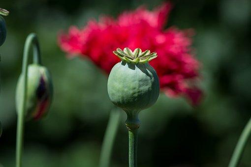 Poppy, Poppy Capsule, Capsule, Flower, Red Poppy, Boll