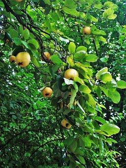 Quittenbaum, Fruit, Time Of Year, Ripe, Cydonia Oblonga