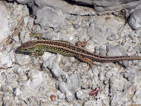 Sand Lizard, The Lizard, Nature, Animal, Zoo