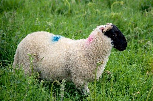 Schwarzkopf Sheep, Sheep, Nature, Animal World, Spring