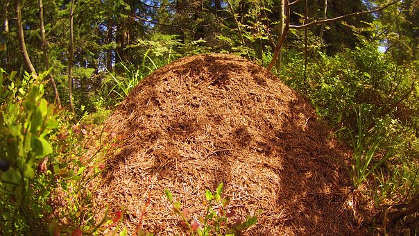 Ants, Pile, Straw, Forest, Grass, Colony, Summer