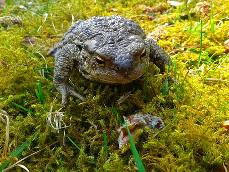 A Toad, The Frog, Nature, Amphibian, Moss, Grass