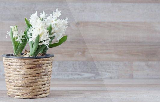 Hyacinthus Orientalis, Hyacinth, Flower, Flowers, White