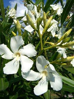 Oleander, White Flower, Flower, White, Garden, Summer