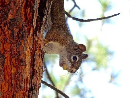 Squirrel, Sciuridae, Rodent, Mammal, Wildlife, Wild