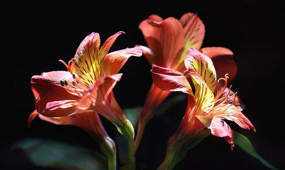 Flower, Alstroemeria, Peruvian Lily, Lily Of The Incas