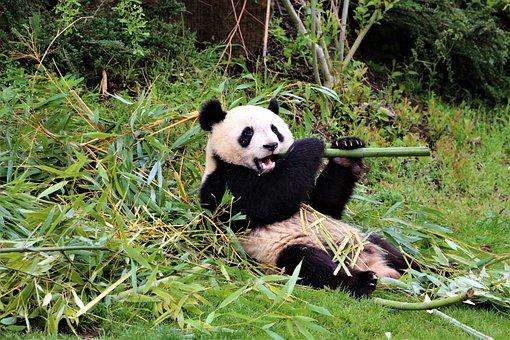 Panda, Zoo, Beauval, Mammals, Asia, Bamboo, China