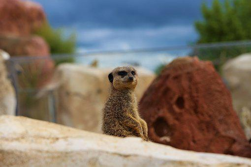 Suricate, Zoo, Beauval, Cute, Animal, Mammals, Head