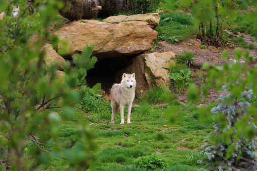 Wolf, Den, White, Zoo, Mammals, Beauval, Tree, Branches
