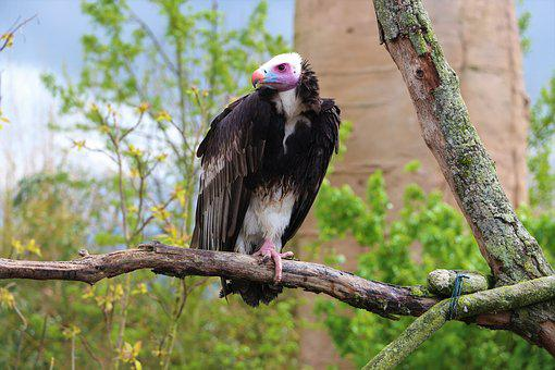 Vulture, Tree, Bird, Branches, Beak, Pen, Wings, Zoo