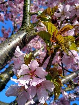 Cherry Blossom, Cherry Tree, Spring, Blossom, Bloom