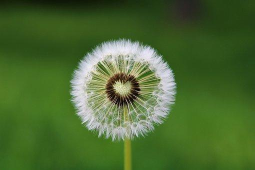 Dandelion, Heart, Desire, Wishes, Blow, Flying