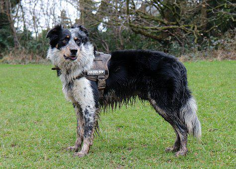 Collie, Dog, Harness, Mud, Sheep Dog, Boarder Collie