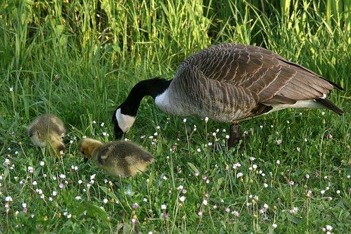 Canada Goose, Goose, Wild Goose, Chicks, Goslings