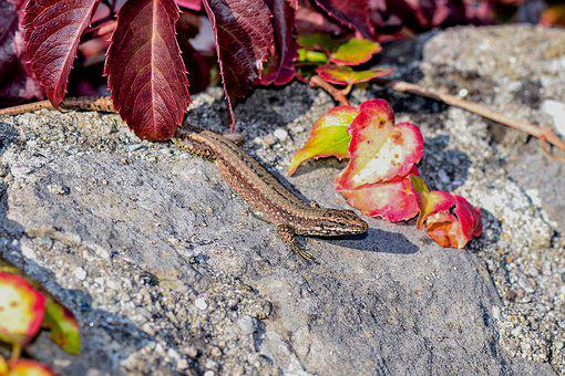 Lizard, Nature, Reptile, Stone, Close Up, Animal